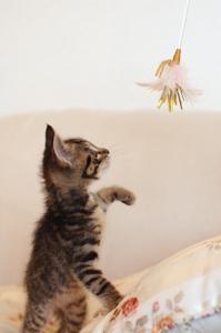 ネコじゃらしで遊ぶブンちゃん