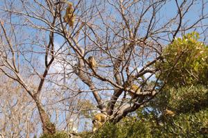 リスザルのなる木