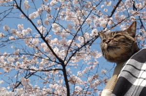 桜とみゅう