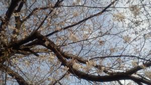 つぼみいっぱいの桜