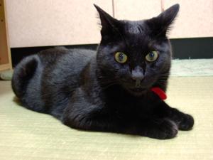 黒猫ヤマトです。