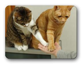 犬のしつけやしつけ教室というのは随分と一般的になりました。 しかし猫のしつけ、トレーニングというと「?」が思い浮かぶ人がほとんどでしょう。